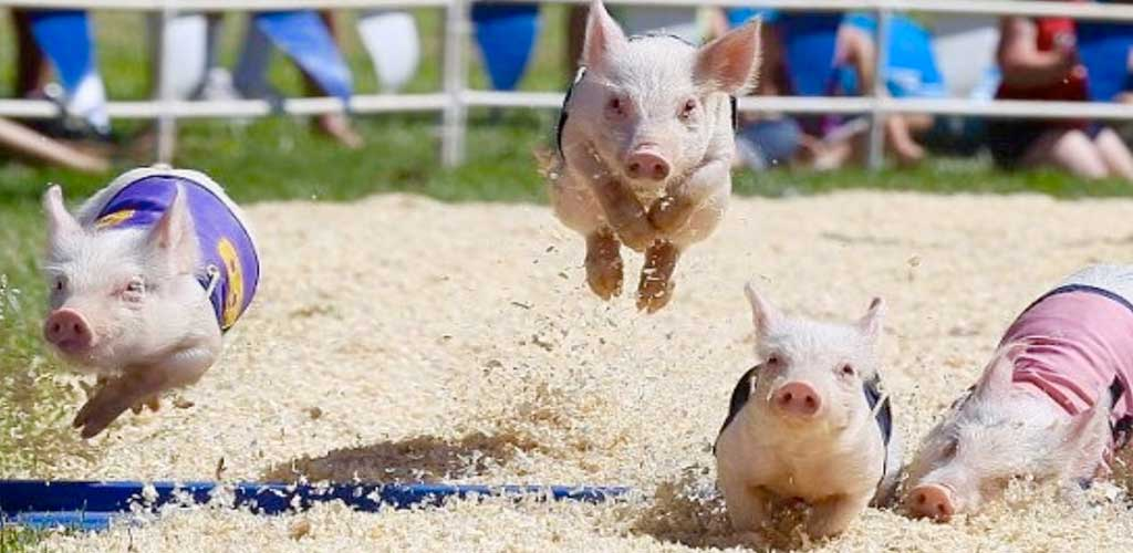 Rosarios Racing Pigs